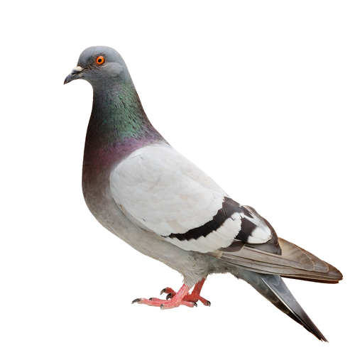 How the Pigeon Update Affects Local Search Marketing